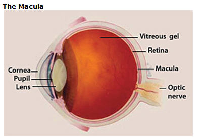 Image showing the anatomy of the eye, including the Macula