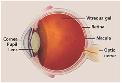Image showing anatomy of the eye, including optic nerve